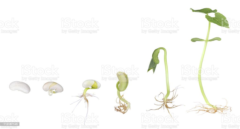 Bean Plant Growing Isolated stock photo