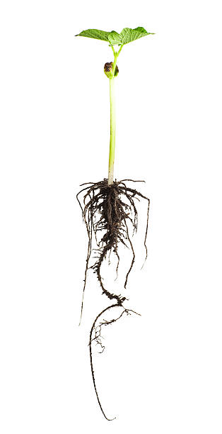 Bean Plant Studio Shot root hair stock pictures, royalty-free photos & images