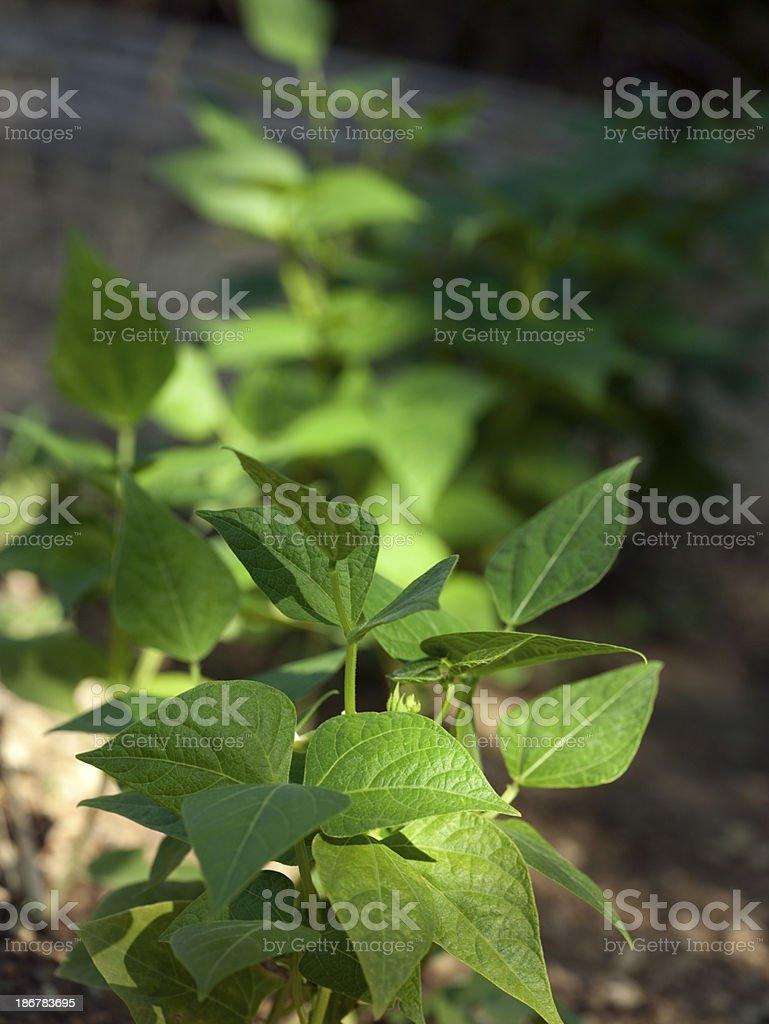 Bean plant royalty-free stock photo