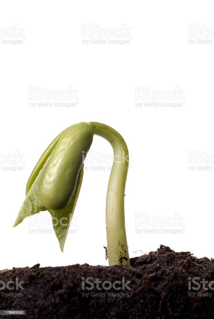 Bean Seedling Emerging From Soil royalty-free stock photo