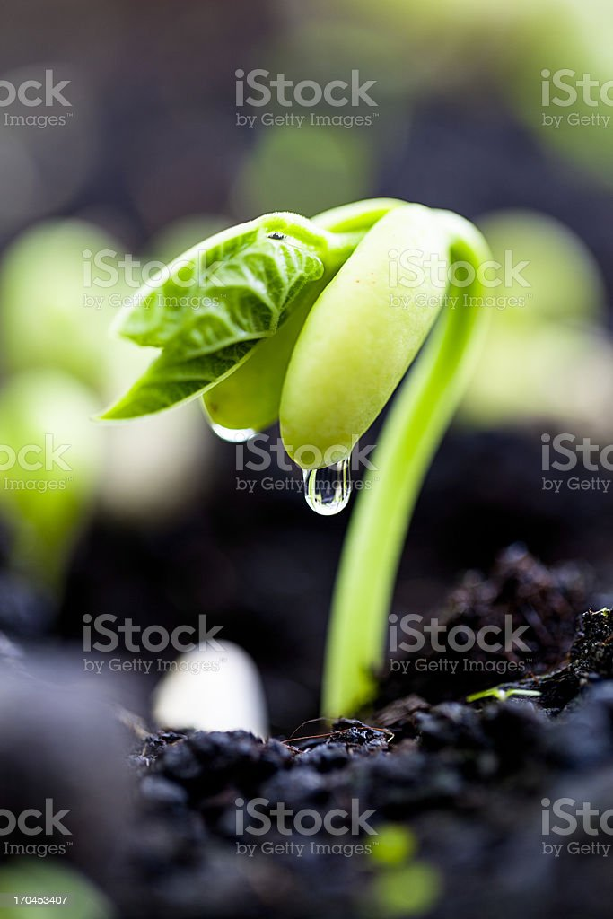 Bean sprout on an organic farm - Royalty-free Afbeelding Stockfoto