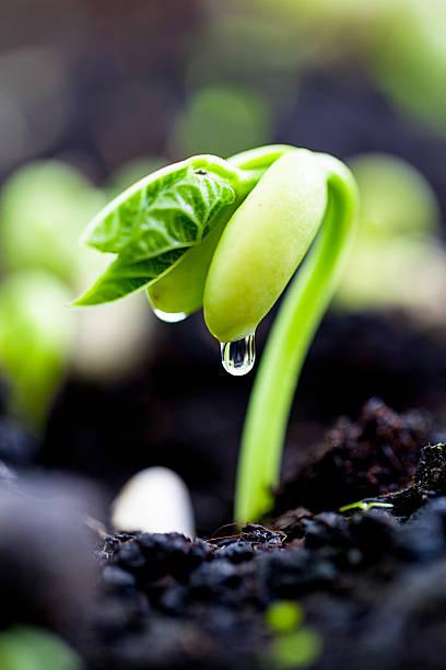 Bean sprout on an organic farm foto