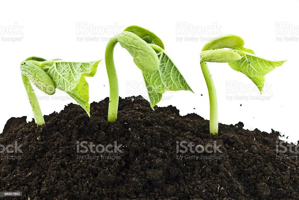 Bean sprouts royalty-free stock photo