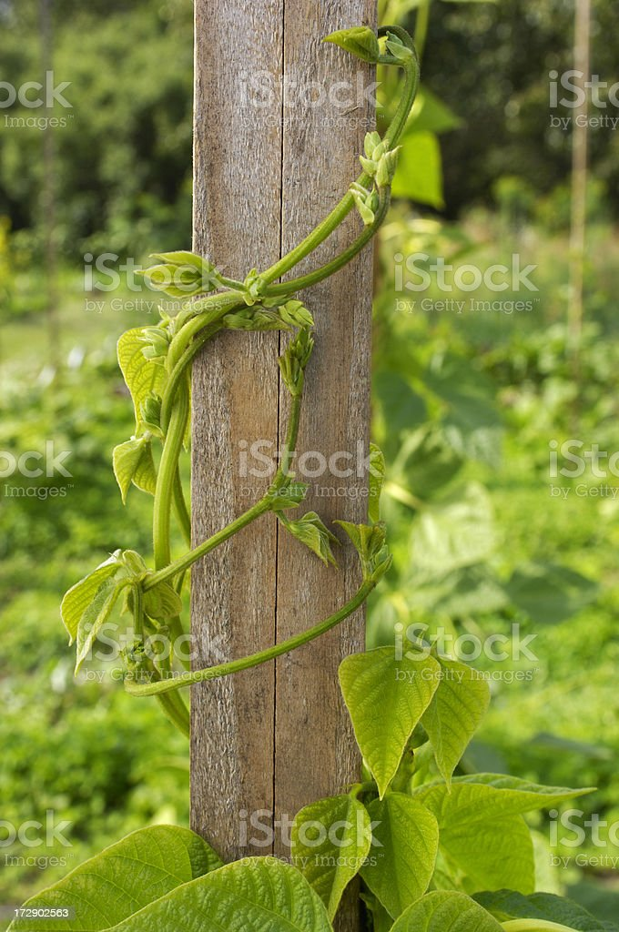 Bean Stalks Growing Up Garden Poles royalty-free stock photo