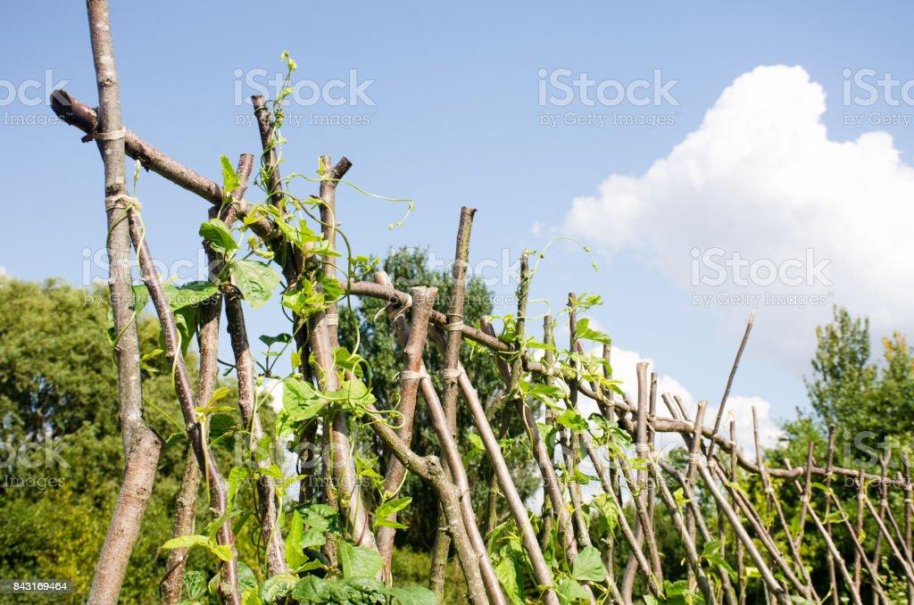 Beans growing on Hazel beanpoles stock photo