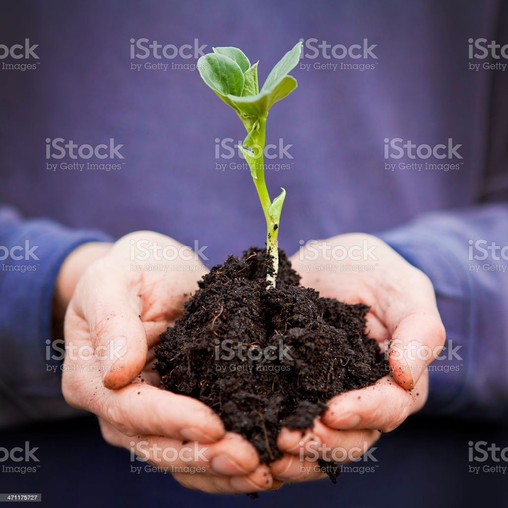 Beanstalk Plant Held in Cupped Hands stock photo