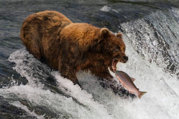 gire alrededor de la pesca del salmón en la boca - oso fotografías e imágenes de stock