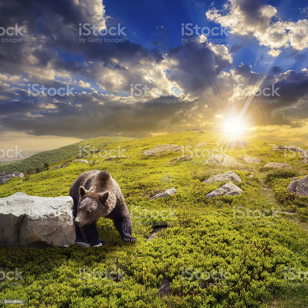 bear among stones on the hillside at sunset stock photo