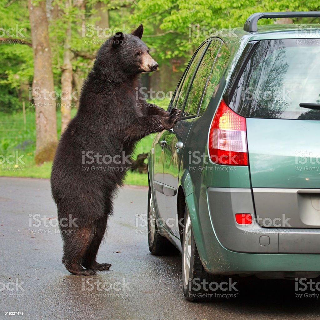 Bear e car - foto de acervo