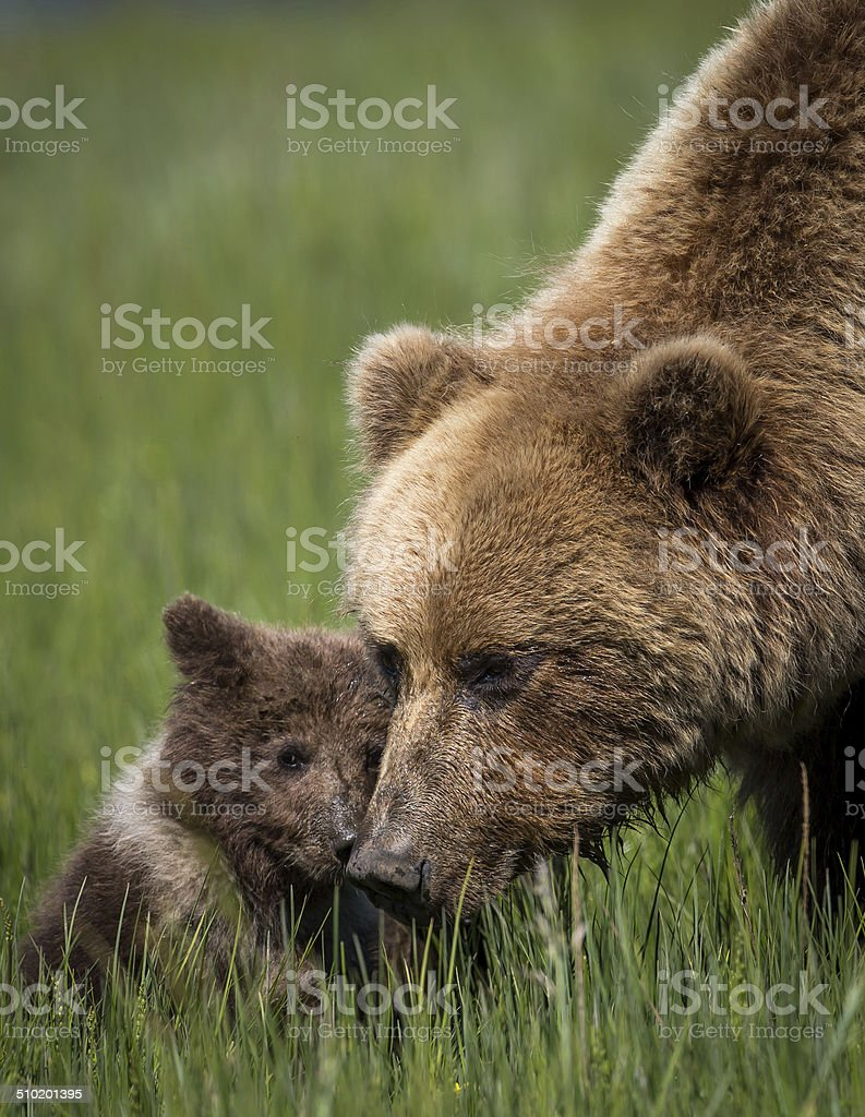 Bear and Cub stock photo