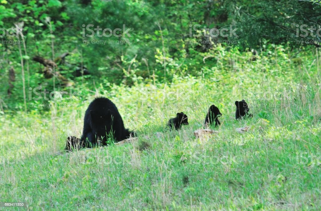 Bear and Four Cubs stock photo