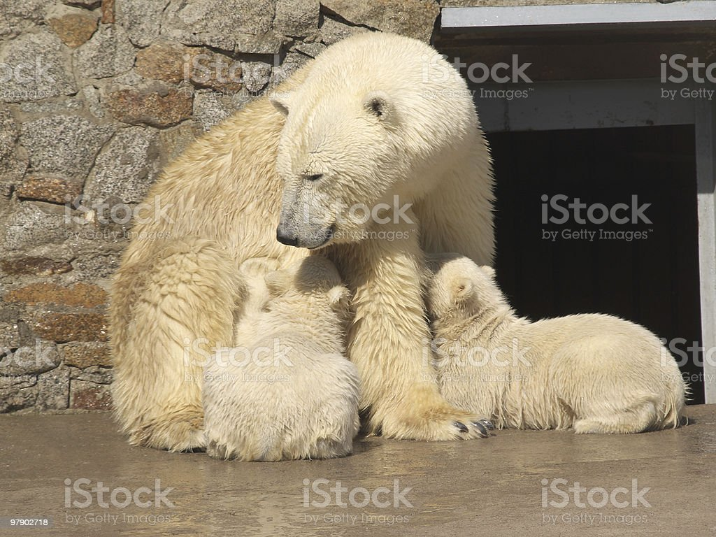Bear and its cubs royalty-free stock photo