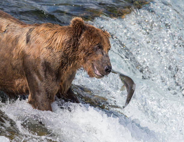 Bear and Salmon Face to Face – Foto