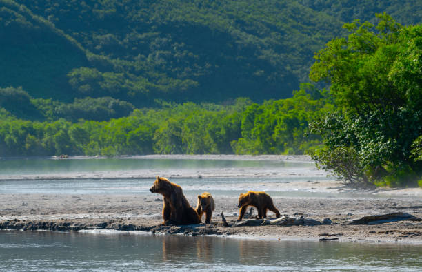 Bear and Salmon Bear and Salmon kamchatka peninsula stock pictures, royalty-free photos & images