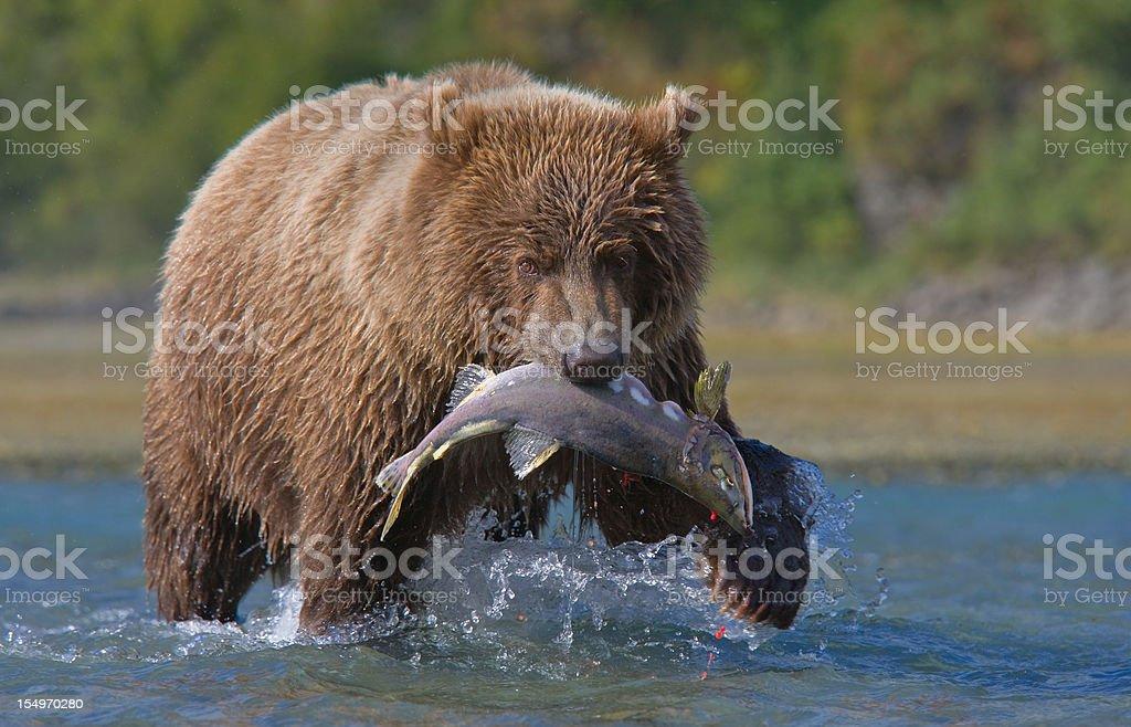 Bear and Salmon stock photo
