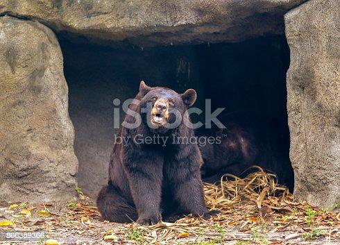 Just a bear, doing bear things, having a bear life