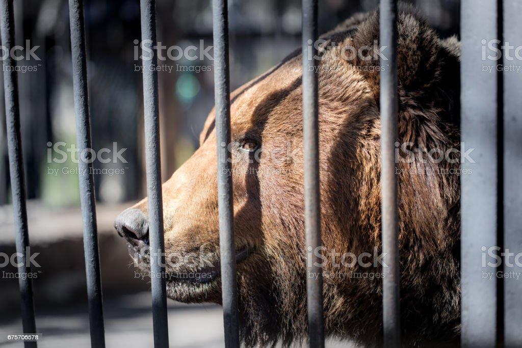 在動物園的金屬柵欄後面熊 免版稅 stock photo