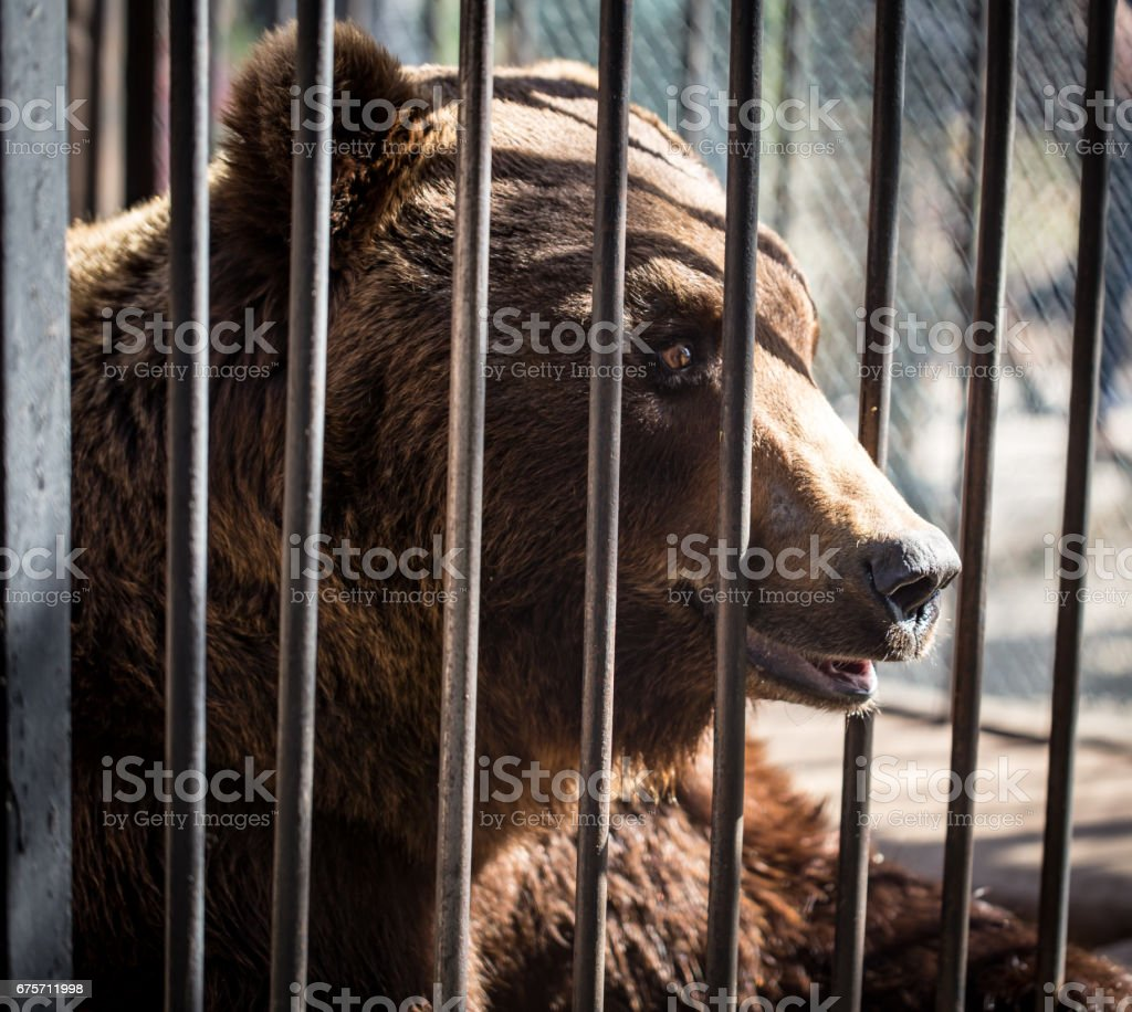 Bear behind the metal fence at the zoo royalty-free stock photo