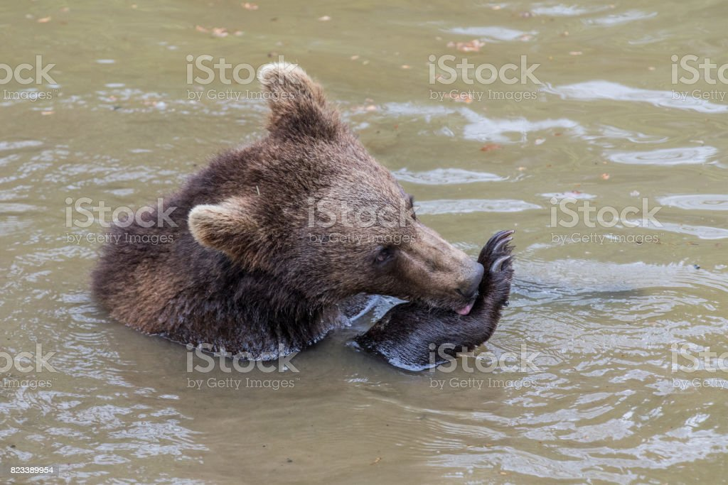 A bear brown bear sits in the water and licks his front paw. Baby Brown Bear. Ursus arctos. stock photo