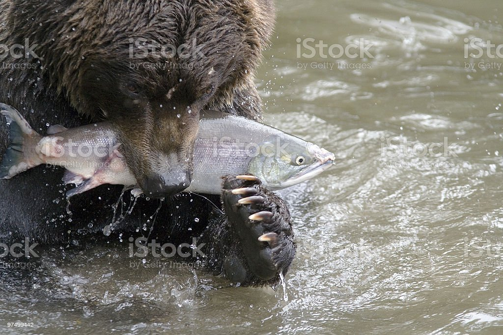 Bear catching a fish. royalty-free stock photo