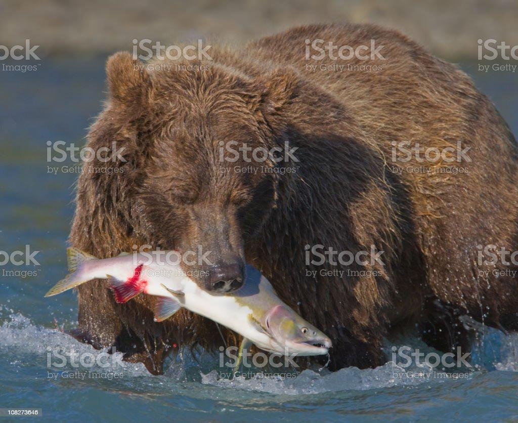 Bear Catching Salmon royalty-free stock photo