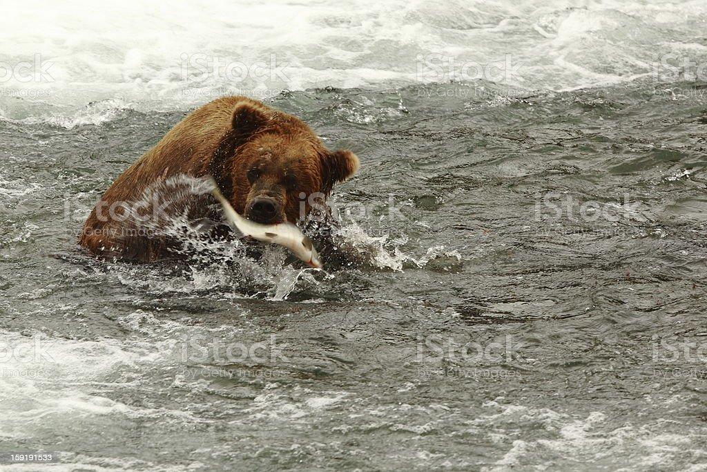 Bear catching salmon royalty-free stock photo