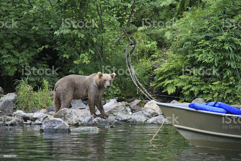 Bear checking out fisherman royalty-free stock photo