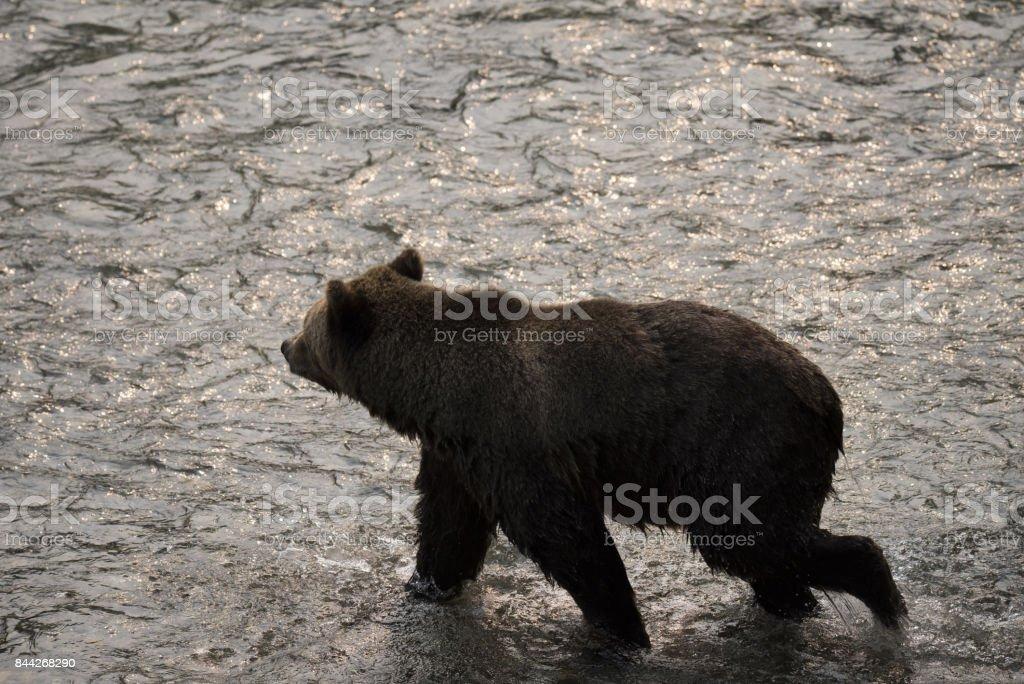 Bear crossing stream stock photo