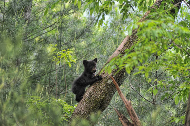 bear cub escalade arbre la recherche - ourson photos et images de collection