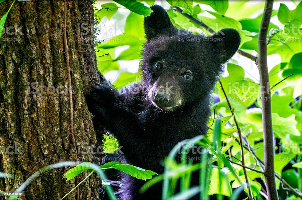 Bear Cub Climbing Tree stock photo