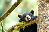 A young bear cub peers down from a tree