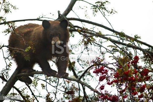 istock Bear Cub in Tree 180718120