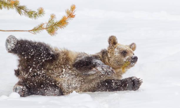 Bear Cub in Winter Snow stock photo