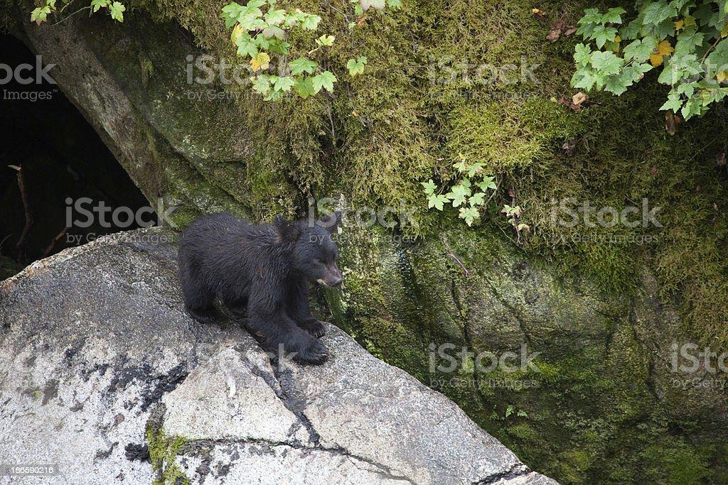 Bear Cub stock photo
