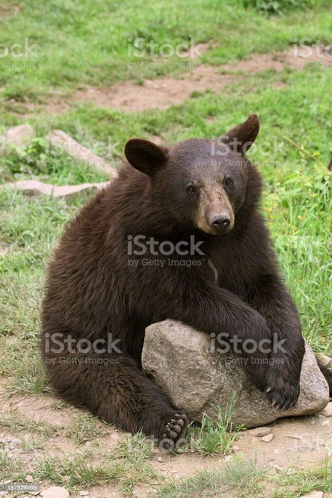 Bear Cub Sitting, Vertical stock photo