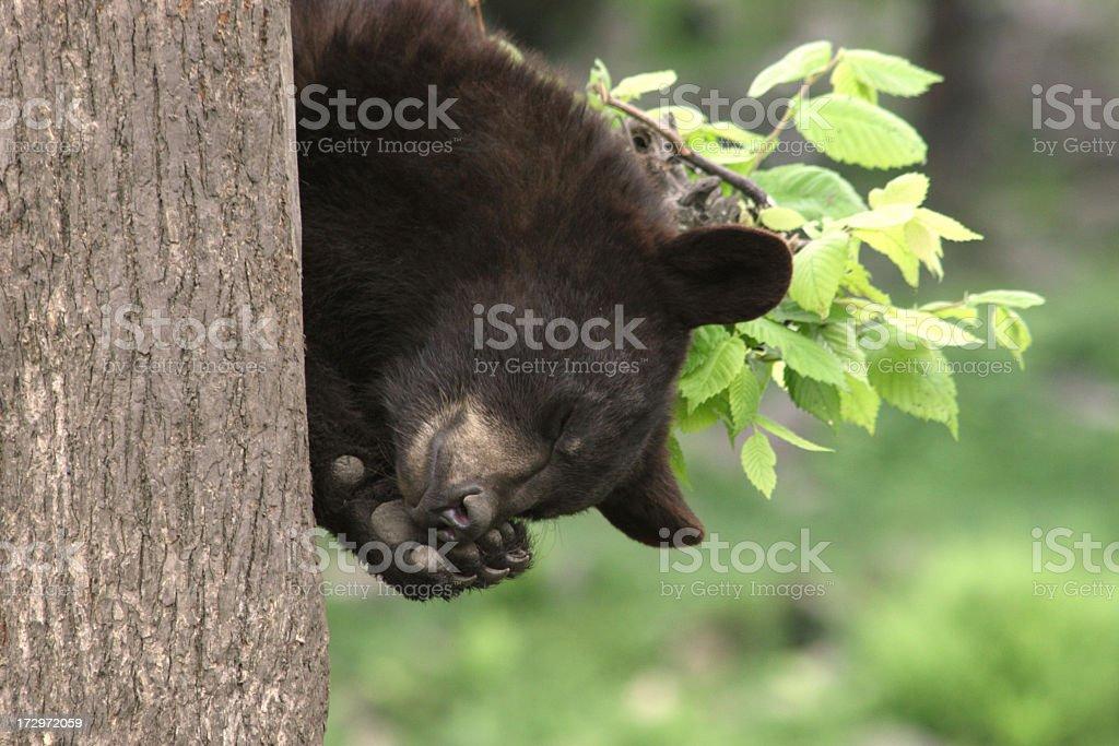 Bear Cub Sleeping in Tree, Horizontal stock photo