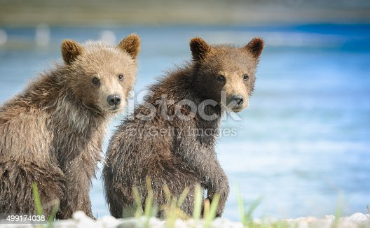 istock Bear Cubs Close Up Near River 499174038