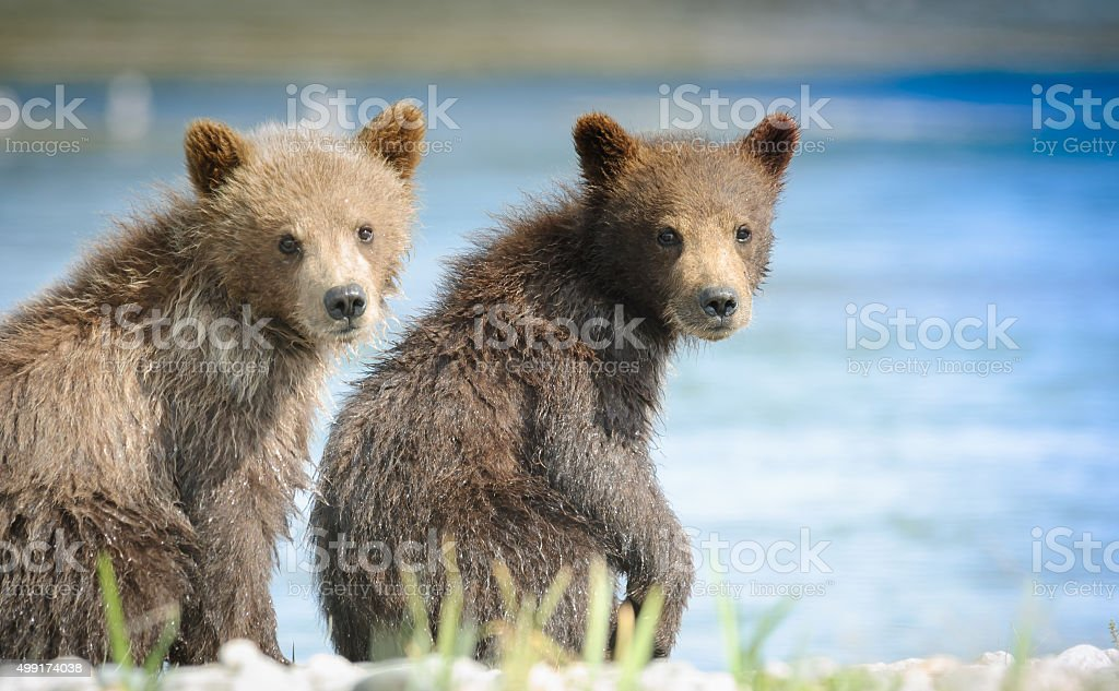 Dos Alaska Brown Bear Cubs vista frontal del río McNeil - foto de stock