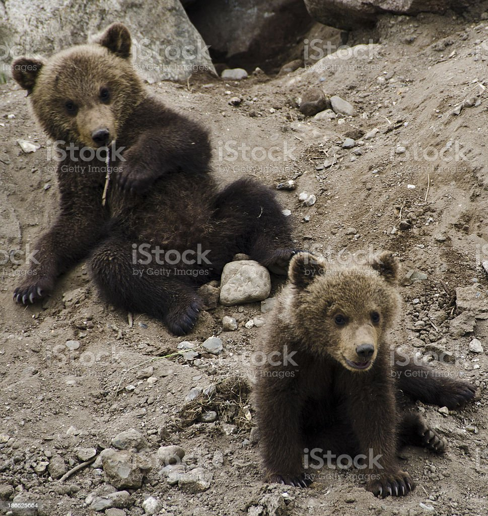Bear Cubs royalty-free stock photo