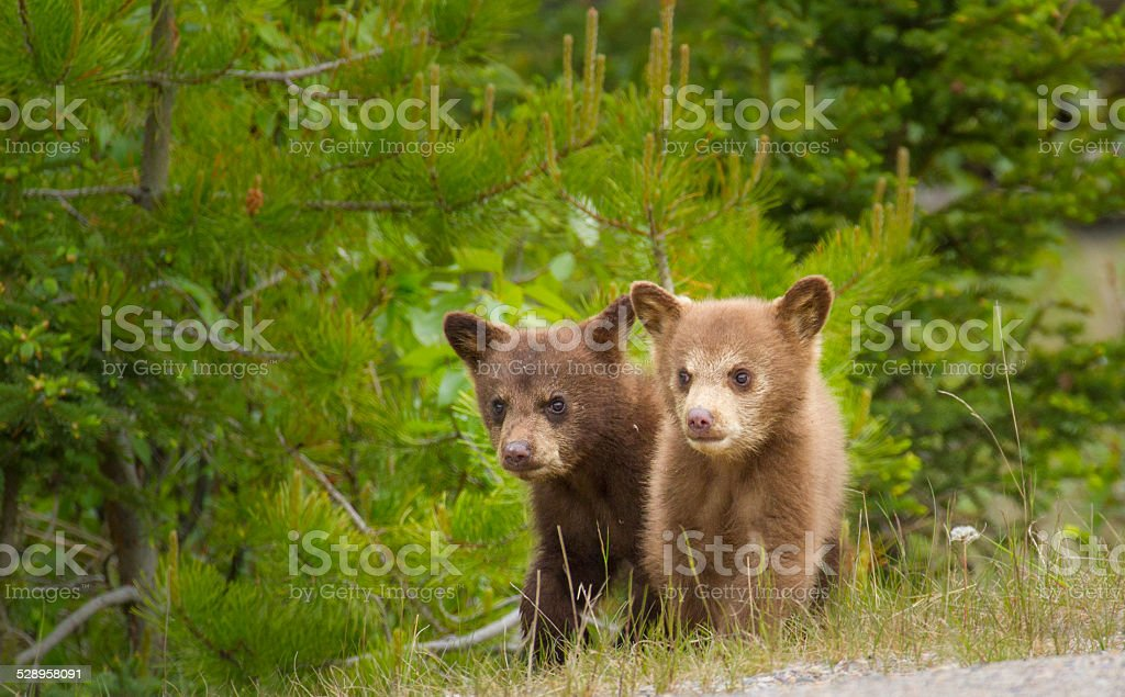 Bear cubs together stock photo