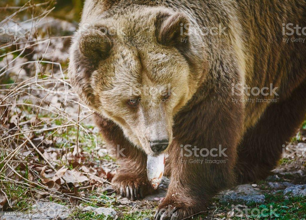 Bear Eating a Fish stock photo