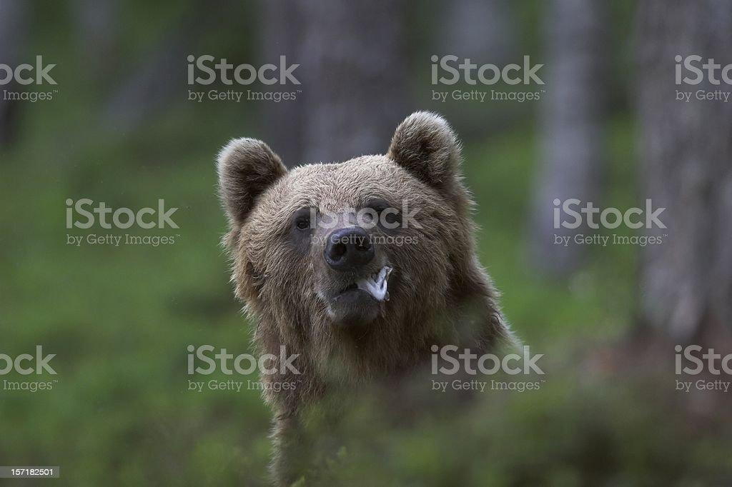 Bear eating some fish stock photo