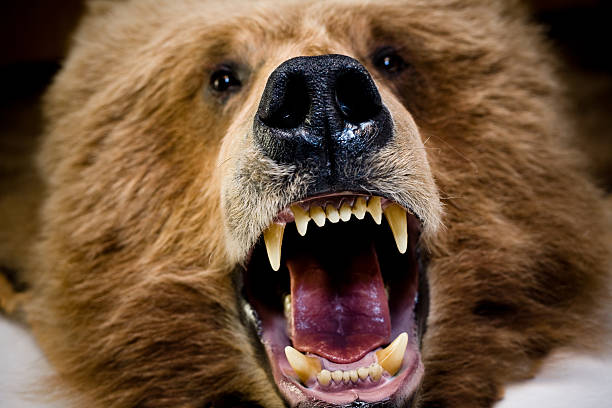 Bear Face And Teeth stock photo