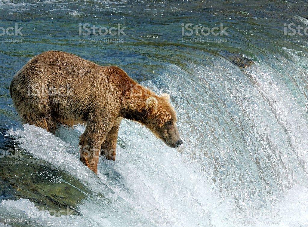 Bear fishing for salmon by a waterfall in Alaska