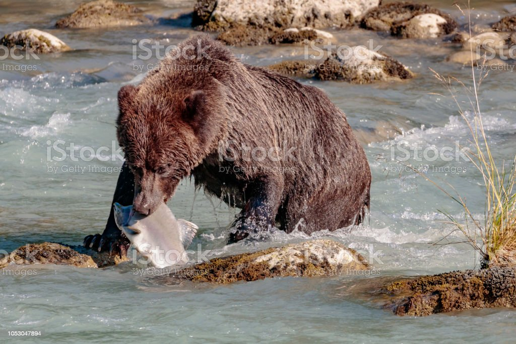 Llevar salmones pesca en el río de Chilkoot cerca de Haines Alaska - foto de stock