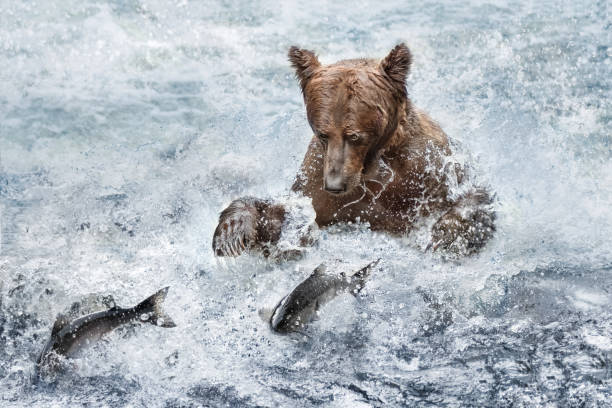 a bear fishing with salmon fish jumping - chinook salmon stock photos and pictures