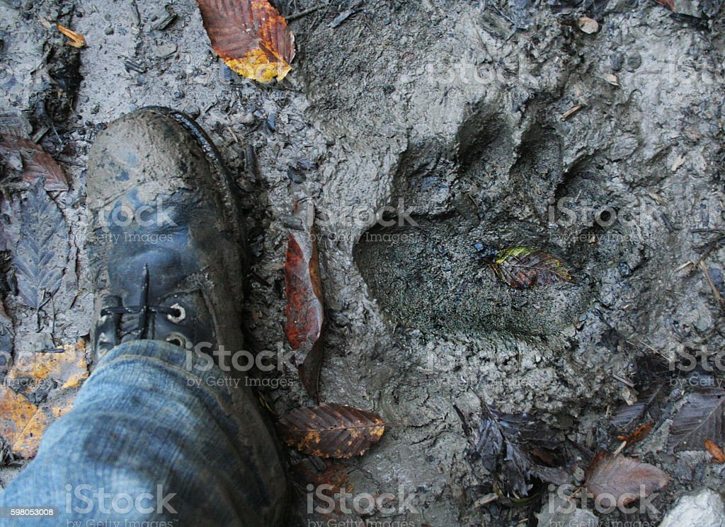 Bear footprint with human foot comparing. stock photo