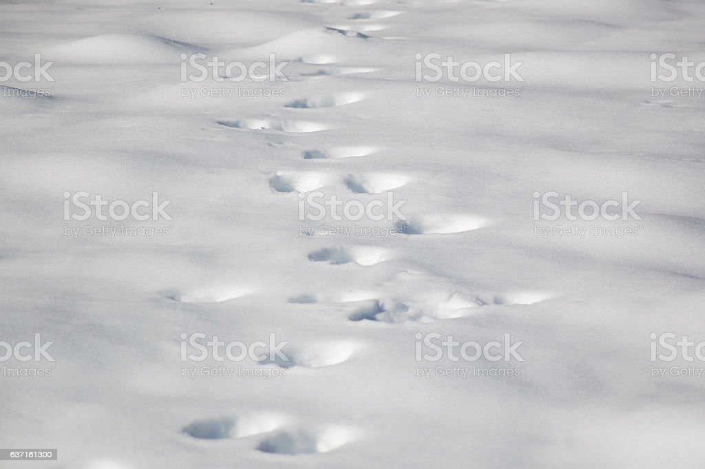 Bear footprints on fresh snow surface stock photo