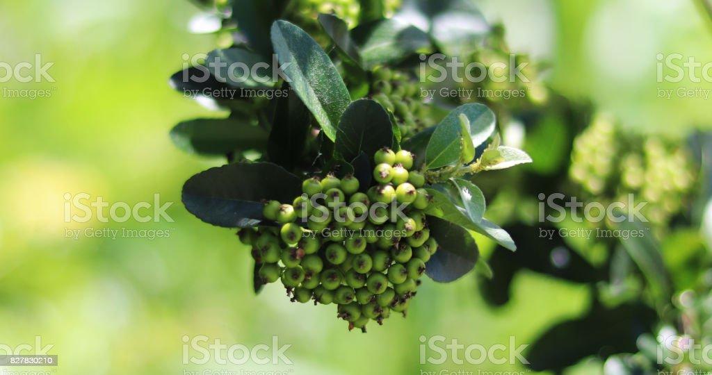 bear fruit stock photo