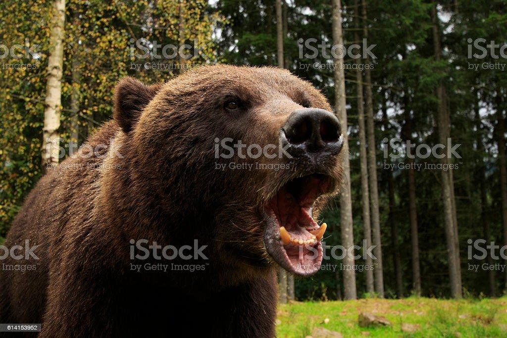 Bear Fury stock photo